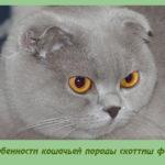 Особенности кошачьей породы скоттиш фолд