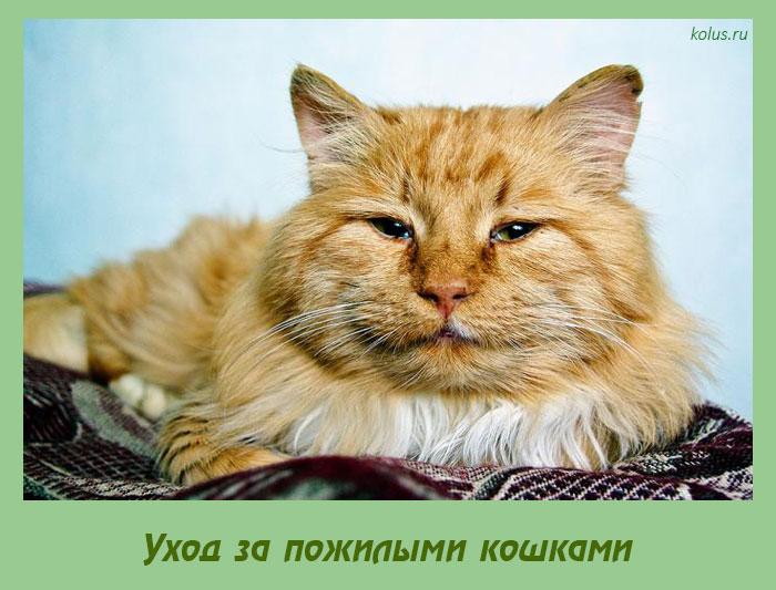 reddish brown cat