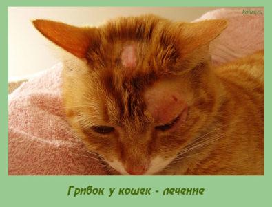 лечение грибок у кошек