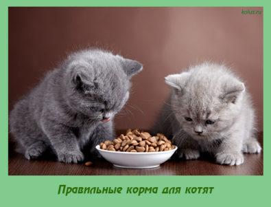 Правильные корма для котят