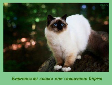 Бирманская кошка ,священная бирма