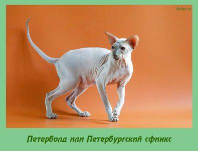 Петерболд или Петербургский сфинкс