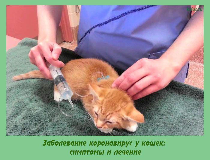 коронавирус всё о кошках