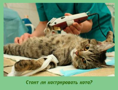 Стоит ли кастрировать кота?