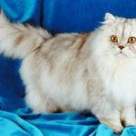 Описание персидской породы