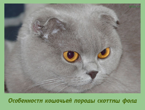 скоттиш фолд кошки фото