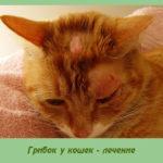 Грибок у кошек — лечение